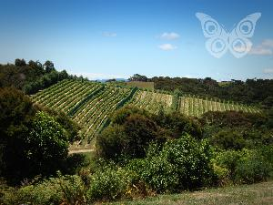 Peacock Sky Vineyard